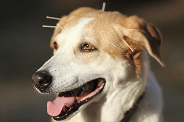 Os benefícios da acupuntura veterinária