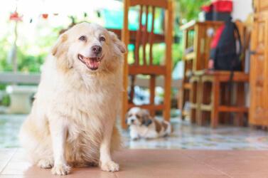 Cachorro Obeso: Como Oferecer mais Qualidade de Vida ao Pet?