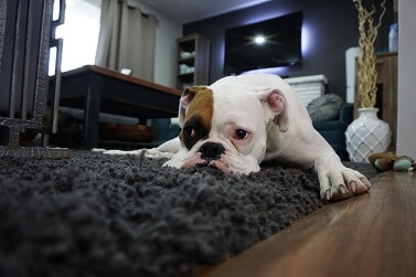 Cinomose Canina: O Que é e Como Tratar essa Doença