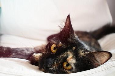 Cinomose em Gatos: Como Identificar a Doença e Tratar
