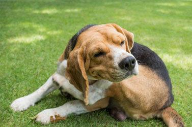 Cachorro se Coçando Muito: o que pode ser?