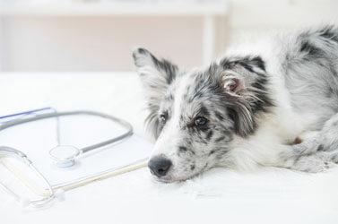 Dermatite Canina: O Que Você Precisa Saber