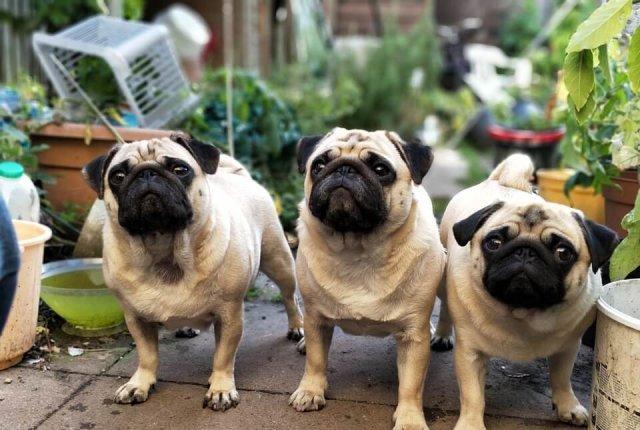 O Que Você Deve Saber Antes De Ter Um Pug