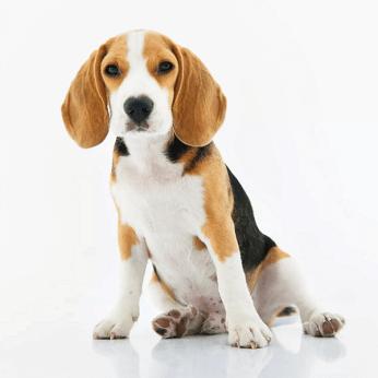 Pneumologista Canino