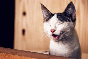 gato com respiracao acelerada