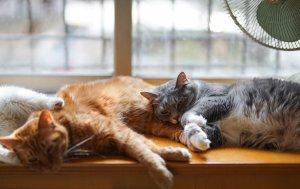 dermatofitose em gatos