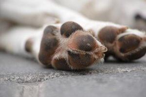 porque os cachorros lambem as patas