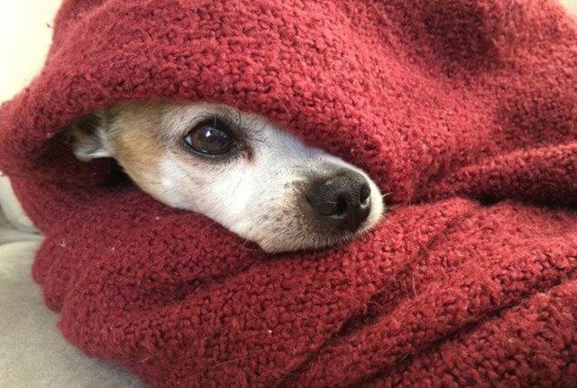 descubra como aumentar a imunidade do cão
