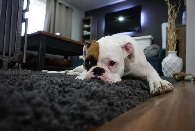 Parvovirose canina: principais sintomas, tratamento e prevenção