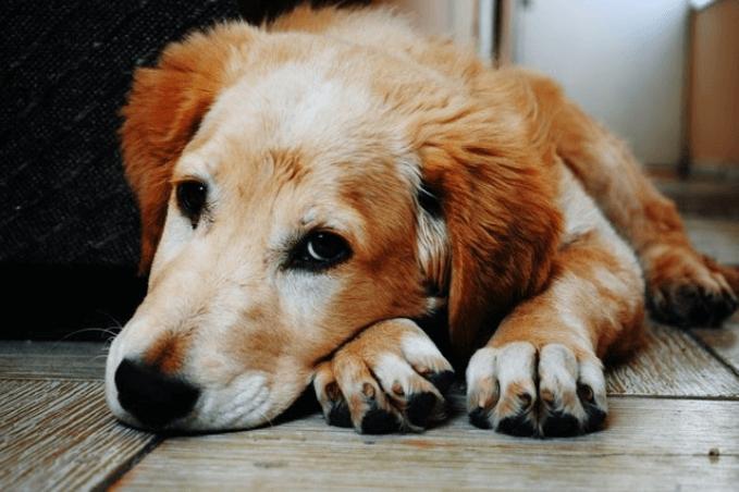 Problemas de pele e feridas em cães: tipos e sintomas