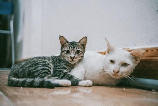 AIDS Felina: tudo sobre o Vírus da Imunodeficiência Felina