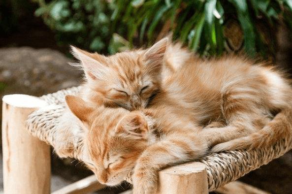 Entenda a peritonite infecciosa felina (PIF)