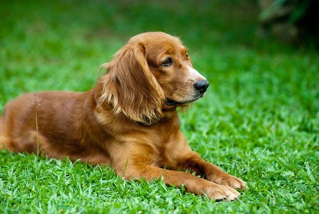 Principais raças de cachorros de porte médio e suas características