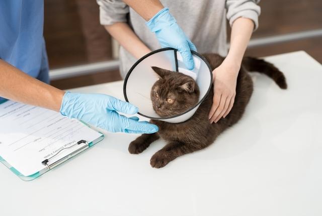 Entenda o que é a esporotricose felina, sintomas e como tratar