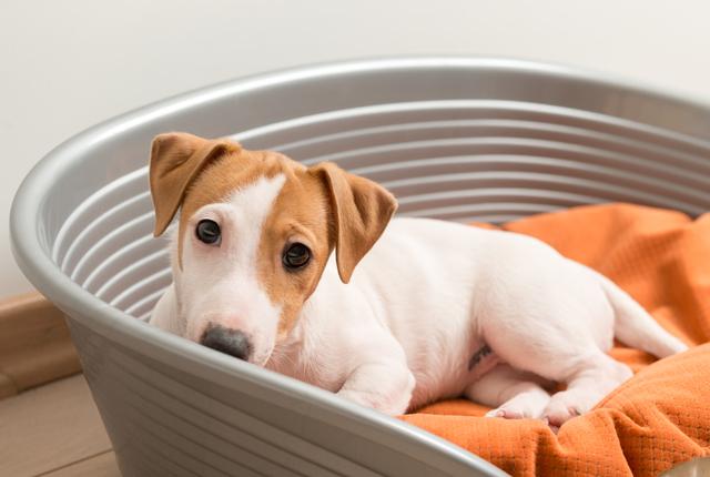 Giárdia canina: entenda quais são os sintomas dessa doença